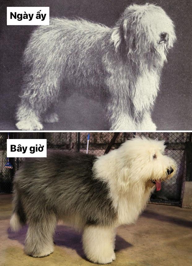 Sự thay đổi về ngoại hình của những chú chó cưng 100 năm trước và hiện tại sẽ khiến bạn bất ngờ đấy - Ảnh 11.