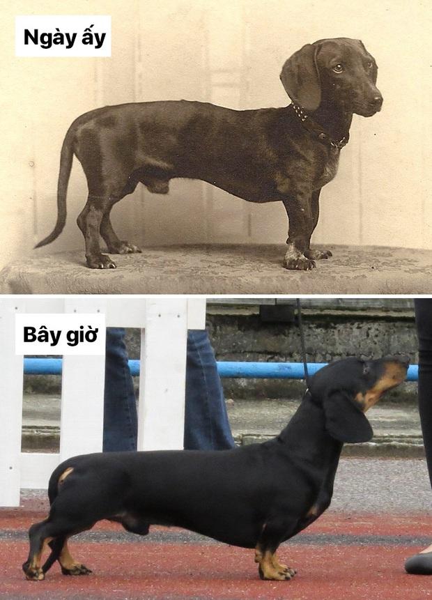Sự thay đổi về ngoại hình của những chú chó cưng 100 năm trước và hiện tại sẽ khiến bạn bất ngờ đấy - Ảnh 12.