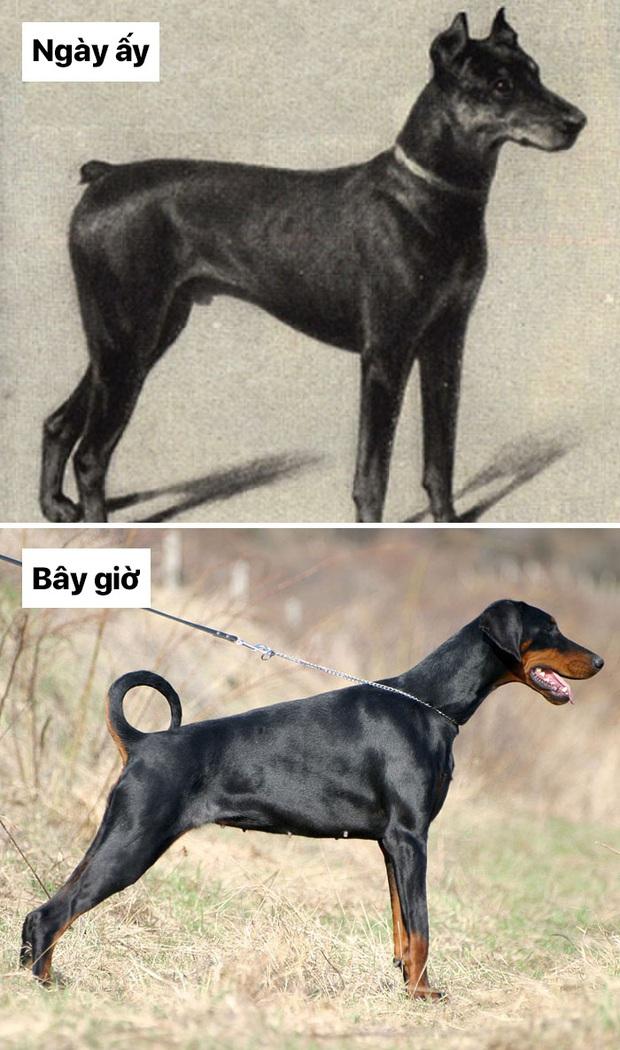 Sự thay đổi về ngoại hình của những chú chó cưng 100 năm trước và hiện tại sẽ khiến bạn bất ngờ đấy - Ảnh 13.
