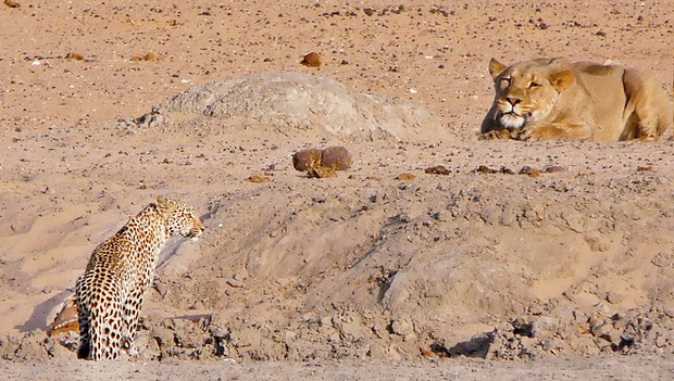 Báo đốm thoát chết thần kỳ sau khi kịp thời phát hiện sự hiện diện của sư tử, quay đầu bỏ chạy như bay khiến kẻ săn mồi bất lực - Ảnh 2.