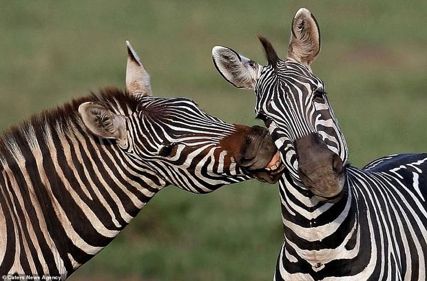 Đem tình yêu rải khắp thế gian trong ngày lễ tình nhân với chùm ảnh động vật âu yếm nhau cực tình tứ và siêu đáng yêu - Ảnh 3.