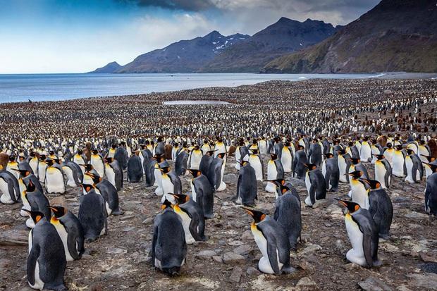 Hơn nửa triệu con chim cánh cụt hoàng đế lúc nha lúc nhúc tụ tập về lãnh địa phía nam Đại Tây Dương để bắt đầu mùa sinh sản - Ảnh 3.