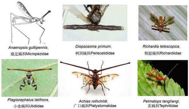 Ruồi cuống mắt: Loài vật sở hữu đôi mắt lồi bất thường nhất trong tự nhiên - Ảnh 5.