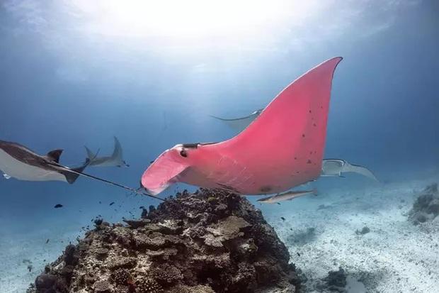 Chuyện hi hữu triệu lần mới bắt gặp được: Nhiếp ảnh gia may mắn chụp được chú cá đuối có màu hồng duy nhất trên thế giới - Ảnh 2.