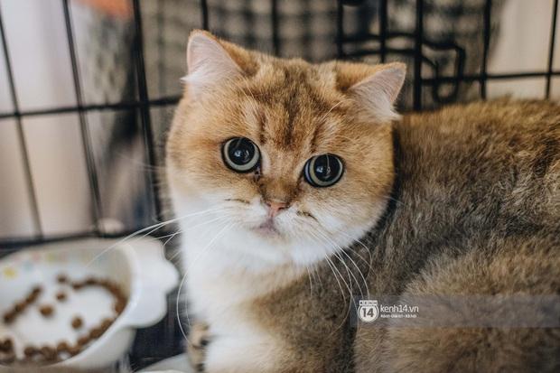 Đi thi mèo đẹp ở Hà Nội, các đại boss để lại loạt khoảnh khắc cưng không đỡ nổi: Chảnh mèo là có thật! - Ảnh 8.