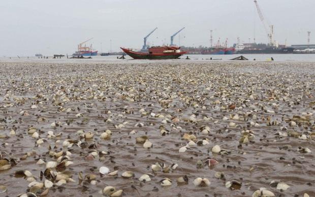 Ngao chết trắng bờ biển không rõ nguyên nhân, dân nuốt nước mắt nhặt vỏ đổ từng đống - Ảnh 13.