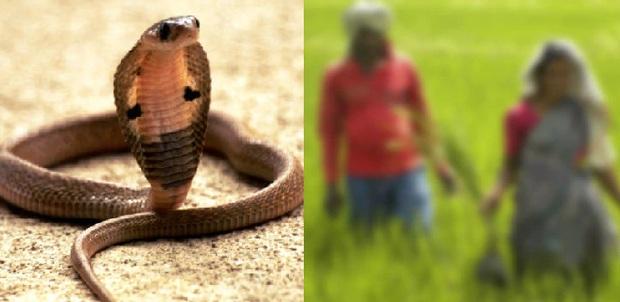 Bị rắn độc cắn, người đàn ông quay ra cắn lại vào tay vợ mình để cả hai cùng nhau đoàn tụ dưới suối vàng - Ảnh 1.