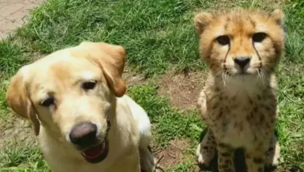 Chó không thể đi và chim bồ câu không thể bay, hai con vật đồng cảnh ngộ cùng nhau chia sẻ tình bạn ấm áp tại trung tâm cứu hộ - Ảnh 4.