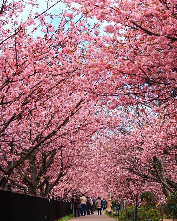 """Đất nước """"đẹp bất chấp thời gian"""" đích thị là Nhật Bản, xem ảnh hoa anh đào nở rộ về đêm mà chỉ biết ngỡ ngàng vì quá ảo! - Ảnh 16."""