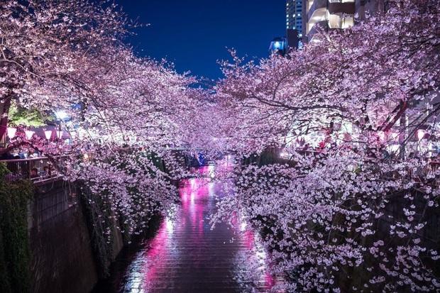 """Đất nước """"đẹp bất chấp thời gian"""" đích thị là Nhật Bản, xem ảnh hoa anh đào nở rộ về đêm mà chỉ biết ngỡ ngàng vì quá ảo! - Ảnh 13."""