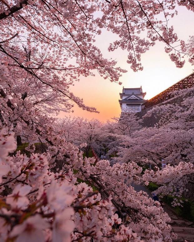 """Đất nước """"đẹp bất chấp thời gian"""" đích thị là Nhật Bản, xem ảnh hoa anh đào nở rộ về đêm mà chỉ biết ngỡ ngàng vì quá ảo! - Ảnh 5."""