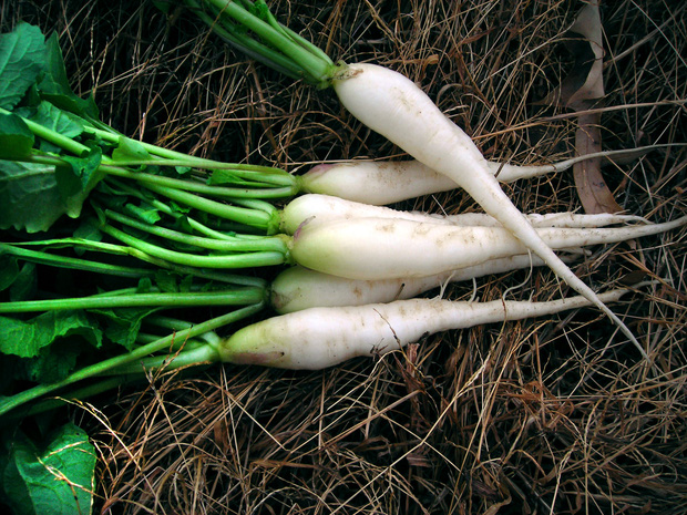 Không những là trợ thủ đắc lực giúp gái Nhật giảm cân nhanh chóng, củ cải còn mang lại nhiều tác dụng tuyệt vời cho sức khỏe - Ảnh 1.