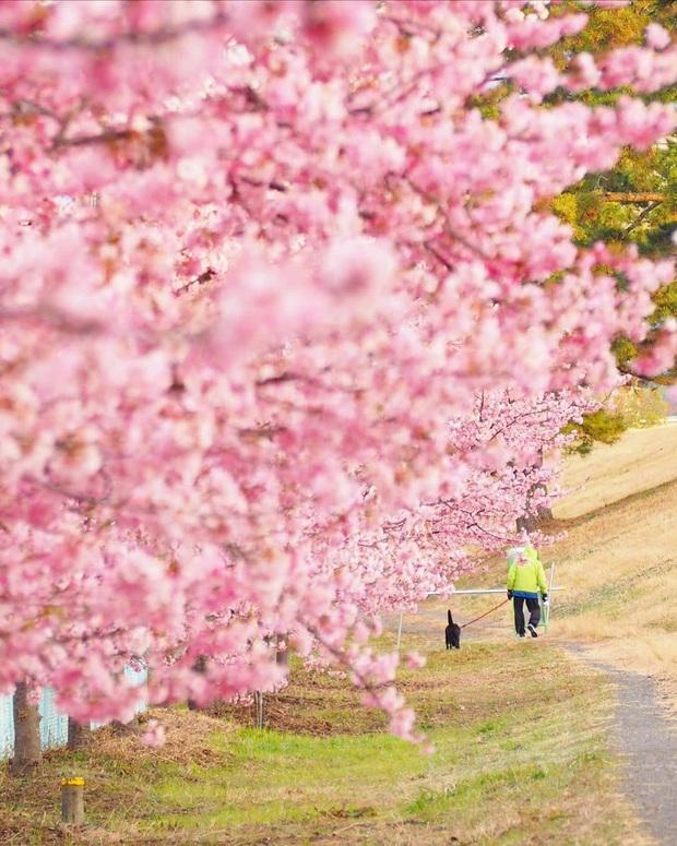 """Đất nước """"đẹp bất chấp thời gian"""" đích thị là Nhật Bản, xem ảnh hoa anh đào nở rộ về đêm mà chỉ biết ngỡ ngàng vì quá ảo! - Ảnh 21."""