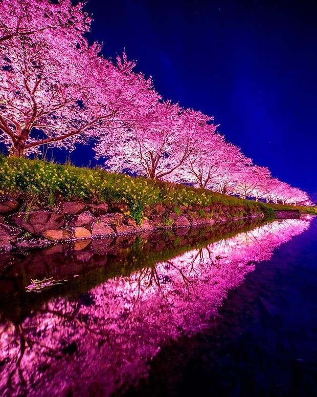 """Đất nước """"đẹp bất chấp thời gian"""" đích thị là Nhật Bản, xem ảnh hoa anh đào nở rộ về đêm mà chỉ biết ngỡ ngàng vì quá ảo! - Ảnh 9."""