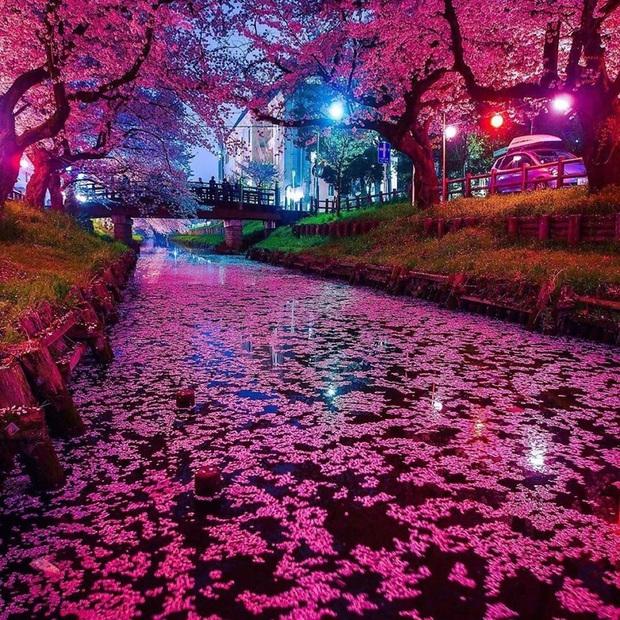 """Đất nước """"đẹp bất chấp thời gian"""" đích thị là Nhật Bản, xem ảnh hoa anh đào nở rộ về đêm mà chỉ biết ngỡ ngàng vì quá ảo! - Ảnh 10."""