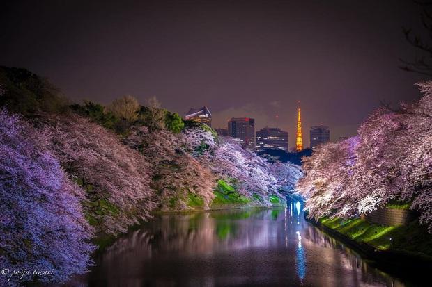 """Đất nước """"đẹp bất chấp thời gian"""" đích thị là Nhật Bản, xem ảnh hoa anh đào nở rộ về đêm mà chỉ biết ngỡ ngàng vì quá ảo! - Ảnh 14."""