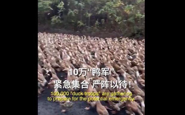 """Trung Quốc cử """"đội quân"""" 10 vạn con vịt đến biên giới để tiêu diệt 400 tỷ con châu chấu - Ảnh 1."""