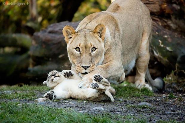 """24 khoảnh khắc ngọt ngào """"đốn tim"""" về tình mẫu tử của động vật hoang dã Photo-17-1582269391778352905234"""