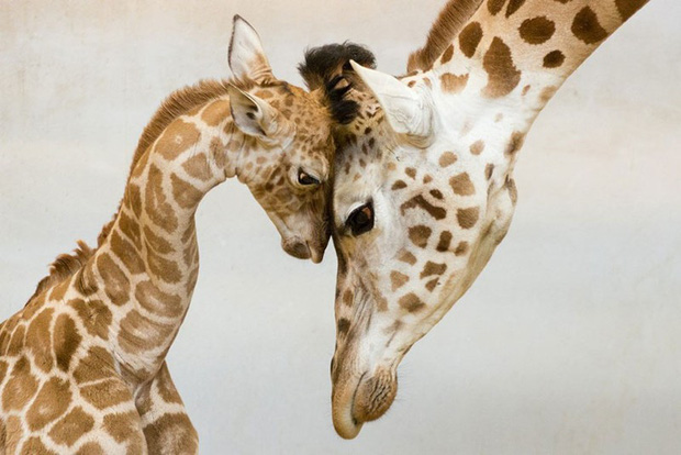 """24 khoảnh khắc ngọt ngào """"đốn tim"""" về tình mẫu tử của động vật hoang dã Photo-8-15822693917681604292649"""