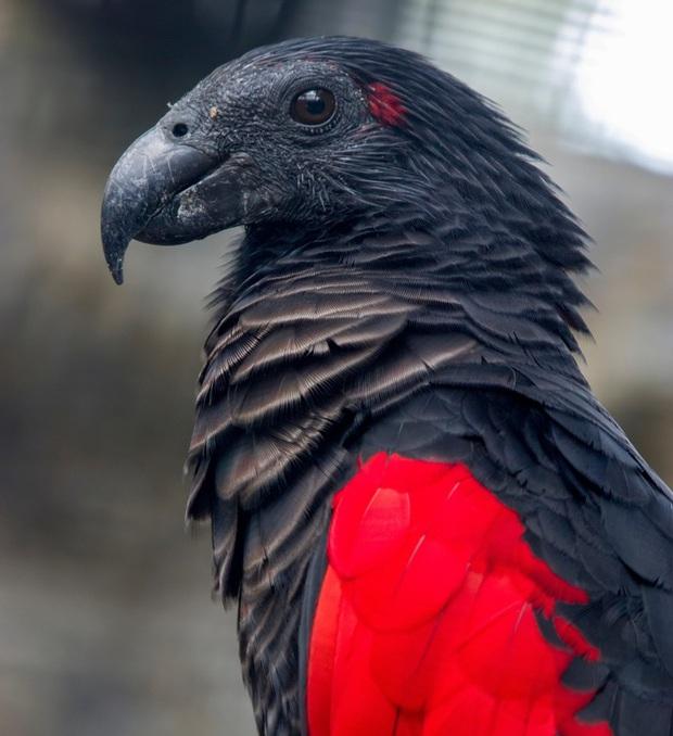 Chiêm ngưỡng loài vẹt có thần thái vương giả, cực ngầu như bá tước Dracula trong truyền thuyết - Ảnh 2.
