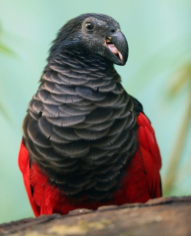 Chiêm ngưỡng loài vẹt có thần thái vương giả, cực ngầu như bá tước Dracula trong truyền thuyết - Ảnh 8.