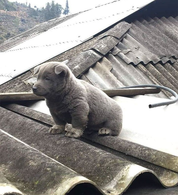 Dúi - chú cún Việt Nam đang gây bão mạng toàn thế giới vì độ phởn và vẻ ngoài ngộ nghĩnh không biết là chó hay mèo? - Ảnh 2.