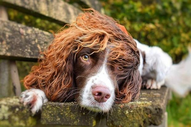 Chú chó gây sốt MXH khi sở hữu mái tóc dài và xoăn tít y như những siêu sao nhạc rock nhưng đôi mắt lại thẫn thờ, mơ màng như tài tử điện ảnh - Ảnh 1.