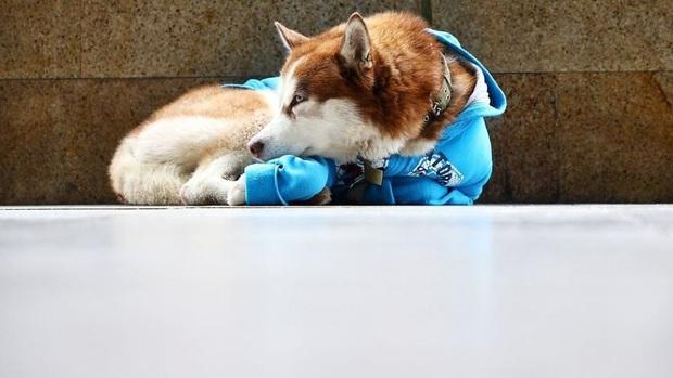 Câu chuyện về Hachiko của nước Nga: chú chó Husky mặc tấm áo màu xanh dương, ngày ngày nằm ngoài vỉa hè giá rét chờ chủ nhân đi làm về - Ảnh 1.