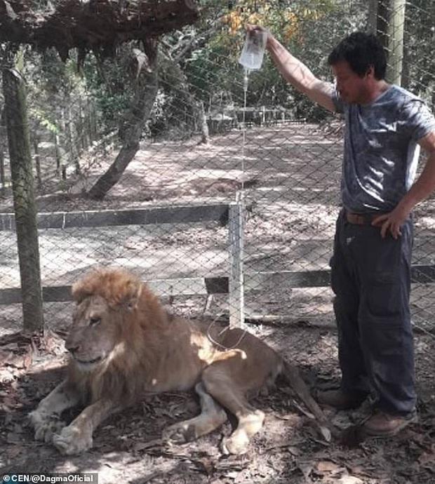 Con sư tử gầy rộc người, hốc hác đến mức lộ cả xương sườn và thậm chí còn không thể đứng dậy nổi sau khi phải rời xa bàn tay người chăm sóc - Ảnh 3.