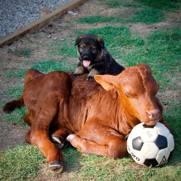 Chuyện chú bò mồ côi được gia đình nhà chó nhận nuôi từ bé, sống riết quen rồi cũng tự nghĩ mình là chó luôn - Ảnh 2.