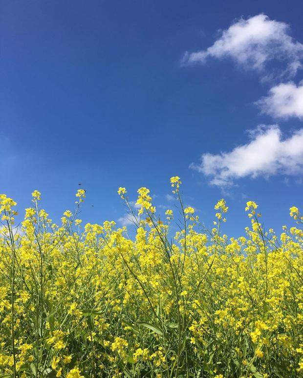 Dân mạng sửng sốt trước cánh đồng hoa cải vàng đẹp như tranh vẽ có thật tại Đà Lạt, xem ảnh mà ngỡ đâu nước Nhật xa xôi - Ảnh 5.