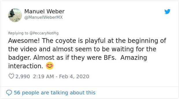 Cảnh cặp đôi sói hoang và chồn lửng chờ nhau để cùng khám phá đường hầm khiến cư dân mạng phát sốt vì đáng yêu không kém gì ở trong phim - Ảnh 4.