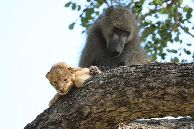 Ăn cắp sư tử con mang lên cây, khỉ đầu chó vô tình cover lại một cảnh phim huyền thoại trong Vua Sư Tử  - Ảnh 5.