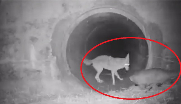 Cảnh cặp đôi sói hoang và chồn lửng chờ nhau để cùng khám phá đường hầm khiến cư dân mạng phát sốt vì đáng yêu không kém gì ở trong phim - Ảnh 1.