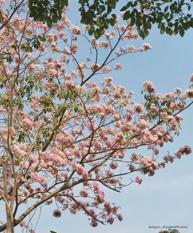 """Hội Sài Gòn rục rịch check-in """"con đường hoa anh đào"""" lên hình tình như phim điện ảnh, ai đi ngang cũng muốn dừng lại sống ảo - Ảnh 6."""