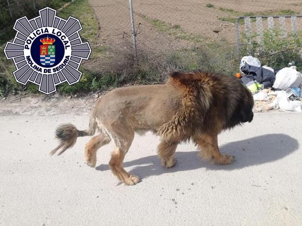 Chó rụng lông đi lông nhông quanh phố, người dân hoảng sợ tưởng sư tử xổng chuồng - Ảnh 1.