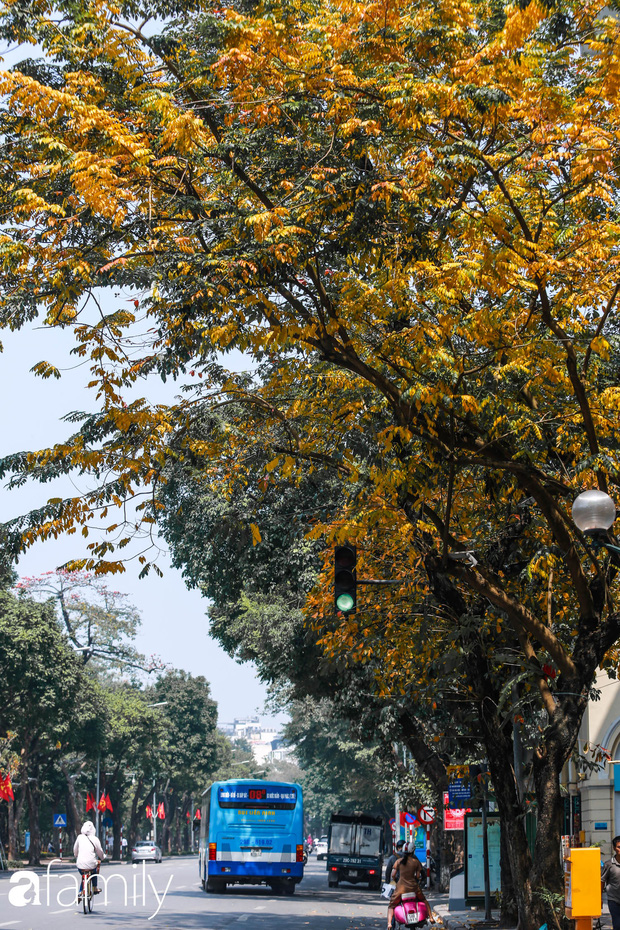 Hà Nội tháng Ba mà cứ ngỡ thu về, bởi vừa có nắng vàng dịu ngọt, vừa có thảm lá vàng đi lạc sau giấc ngủ đông - Ảnh 16.