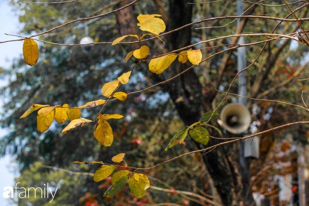 Hà Nội tháng Ba mà cứ ngỡ thu về, bởi vừa có nắng vàng dịu ngọt, vừa có thảm lá vàng đi lạc sau giấc ngủ đông - Ảnh 5.