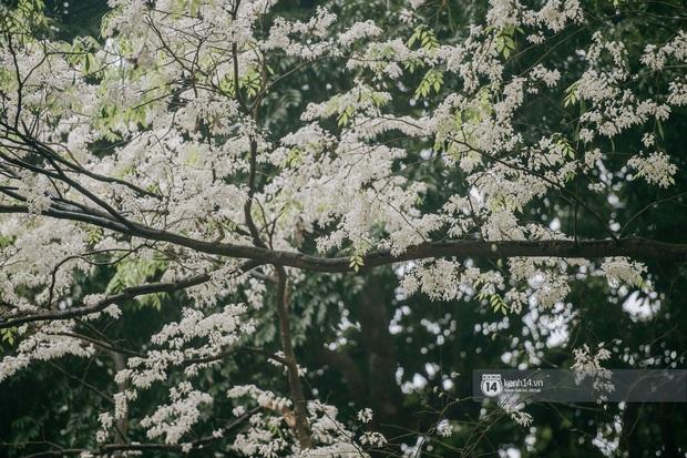 Hà Nội tháng 3 vẫn đẹp đến nao lòng dù đang giữa mùa dịch: ngắm ảnh lộc vừng thay lá, sữa nở, bàng đâm chồi mà thấy sao an yên - Ảnh 6.