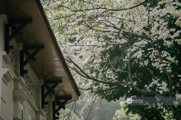 Hà Nội tháng 3 vẫn đẹp đến nao lòng dù đang giữa mùa dịch: ngắm ảnh lộc vừng thay lá, sữa nở, bàng đâm chồi mà thấy sao an yên - Ảnh 7.