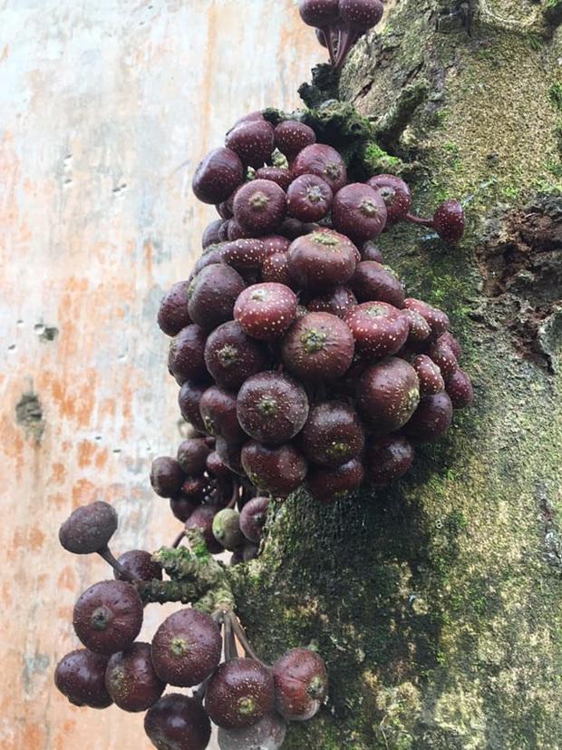 Một loại quả đỏ mọng là đặc sản tuổi thơ của người Việt nhưng không phải ai cũng còn nhớ trong thời nay - Ảnh 4.