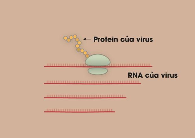 [Infographic] Covid-19 lây nhiễm tế bào phổi như thế nào? Tại sao nó lại nguy hiểm vậy? - Ảnh 4.
