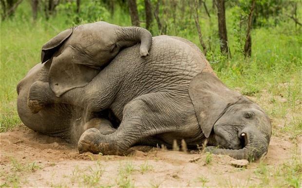 Buồn đời, hai chú voi mượn rượu giải sầu rồi say bí tỉ nằm ôm nhau trong bụi cây - Ảnh 3.