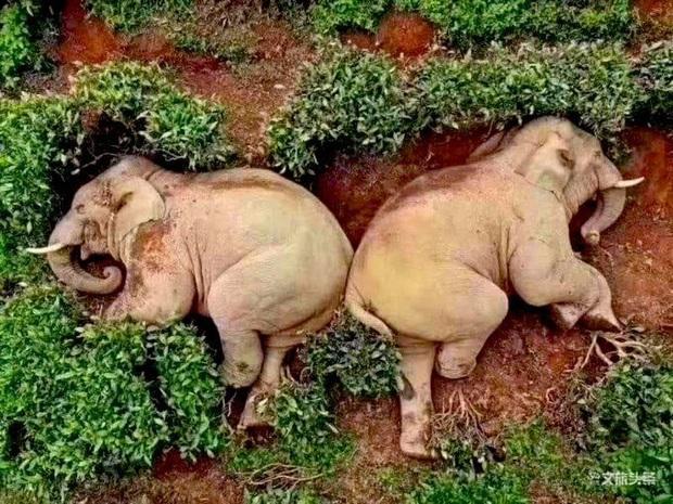 Buồn đời, hai chú voi mượn rượu giải sầu rồi say bí tỉ nằm ôm nhau trong bụi cây - Ảnh 1.