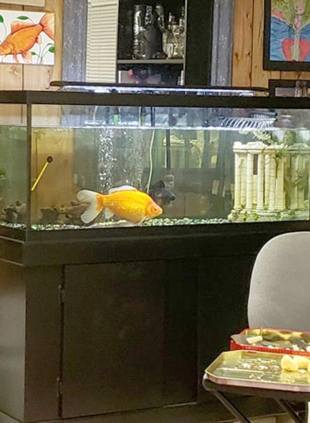 Mua chú cá vàng nhỏ về nuôi cho vui, thời gian sau cô gái phát hiện sự thật giật mình về con quái vật nuốt chửng cả đồng loại - Ảnh 3.