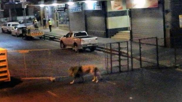Xôn xao tin đồn Nga thả 800 con hổ và sư tử để cai quản người dân phải ở trong nhà tránh dịch Covid-19 và sự thật là gì? - Ảnh 2.