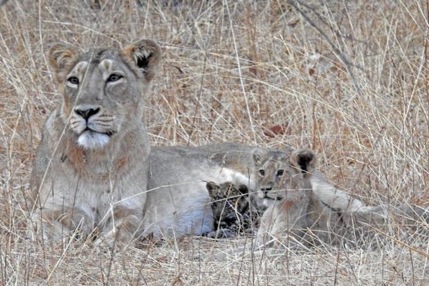 Báo đốm được sư tử mẹ nhận nuôi, chăm bẵm như là con của mình, thậm chí còn sống hòa thuận với anh chị sư tử  - Ảnh 1.