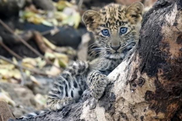 Báo đốm được sư tử mẹ nhận nuôi, chăm bẵm như là con của mình, thậm chí còn sống hòa thuận với anh chị sư tử  - Ảnh 3.