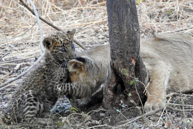 Báo đốm được sư tử mẹ nhận nuôi, chăm bẵm như là con của mình, thậm chí còn sống hòa thuận với anh chị sư tử  - Ảnh 2.