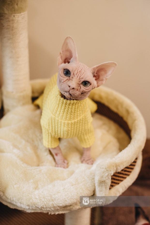 """Diện kiến đàn mèo không lông Sphynx đắt đỏ ở Hà Nội: Bên ngoài """"hổ báo cáo chồn, bên trong nhiều tiền và hiền lắm luôn - Ảnh 7."""